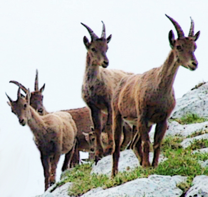 mountain goats 3 pic bootlace