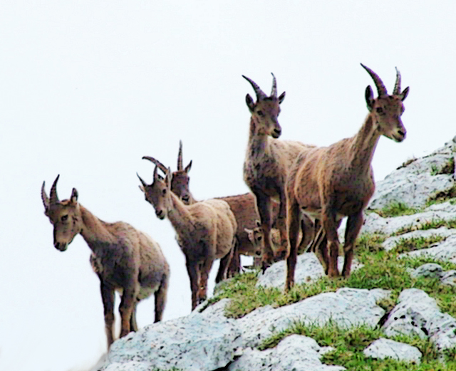 mountain goats pic 3 bootlace